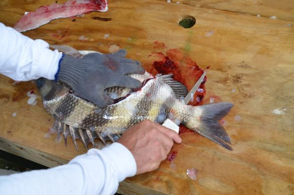 Cleaning%20sheepshead
